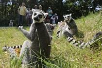 Výběh lemurů kata v ústecké zoo. Ilustrační foto.