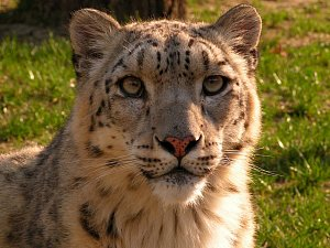 Zoo Ústí nad Labem - ilustrační foto. Irbis