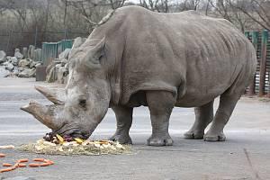 Zesnulá nosorožčí samice Zamba