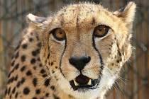 Krásnobřezenská zoologická zahrada má nového obyvatele. Je jím pětiletá gepardí samice jménem Suna.