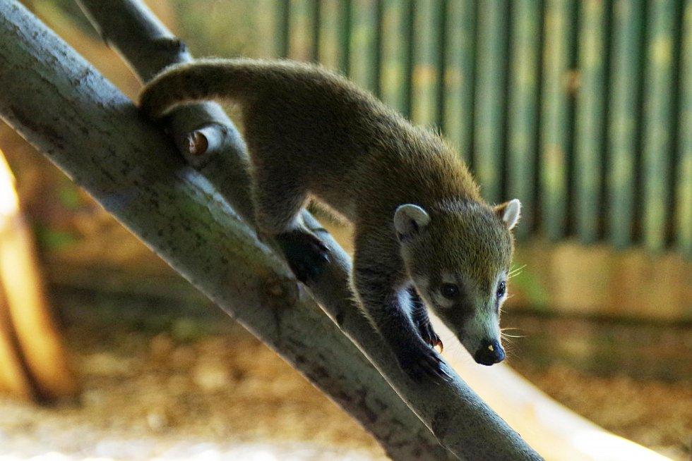 Mládě nosála bělohubého v ústecké zoologické zahradě