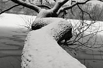 Strom u rybníka.