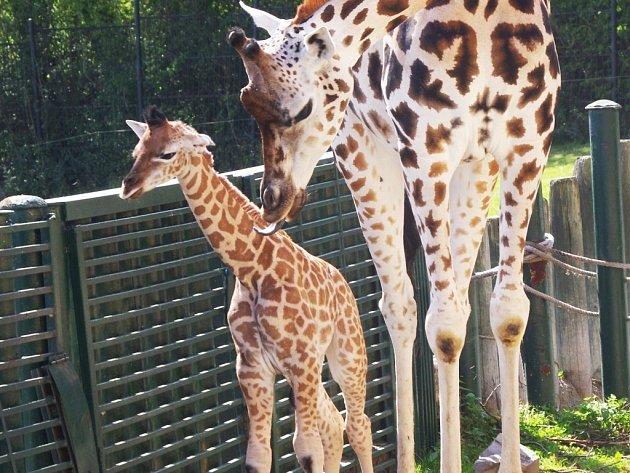 Zoo má nové žirafí mládě.