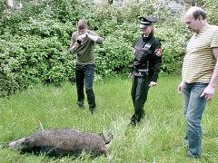 Splašené divoké prase museli v areálu mateřské školy v ulici Rabasova v Ústí zajistit strážníci spolu s myslivci.
