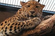 Zoo Ústí nad Labem - ilustrační foto. Levhart mandžuský