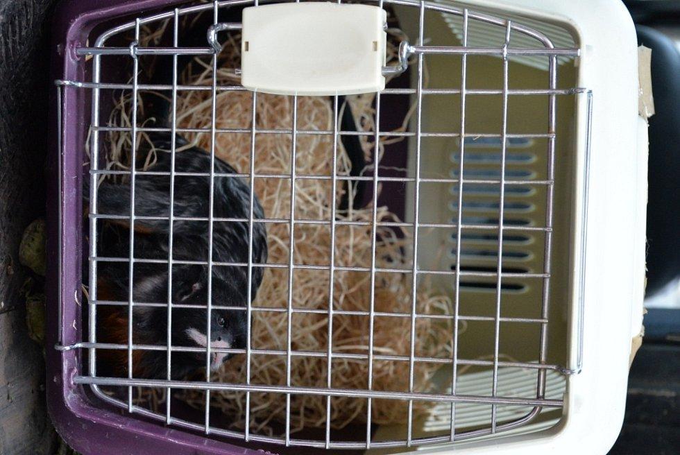 Tamarín bělohubý v transportním boxu