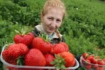 Sladké jahody už zrají ve Svádově.