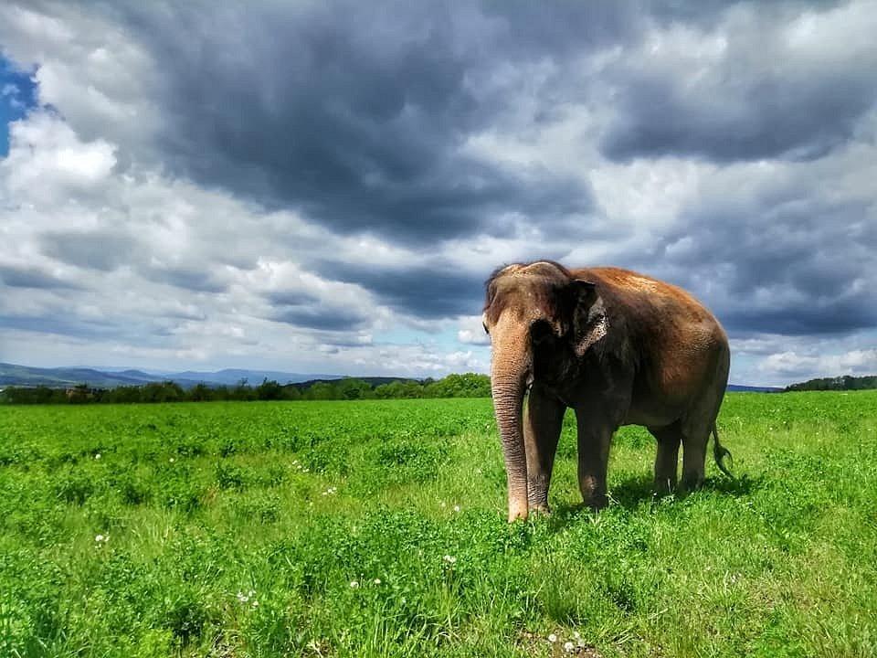 Slonice Delhi z ústecké zoo na procházce nedaleko sídliště.