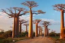 Majestátné baobaby, jeden z divů Madagaskaru.