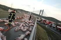 Řidič maďarského kamionu převážejícího téměř 400 selat zřejmě nezvládl ve velké rychlosti řízení a na kruhovém objezdu převrátil kamion na bok.