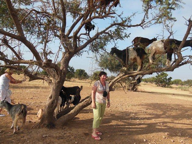 """""""Viděli jsme kozy na arganových stromech. Krásný zážitek,"""" napsala kfotce zdovolené uAgadiru vMaroku Anna Stieranková ze Štětí."""