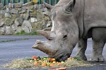 Samice nosorožce tuponosého Zamba na archivním snímku
