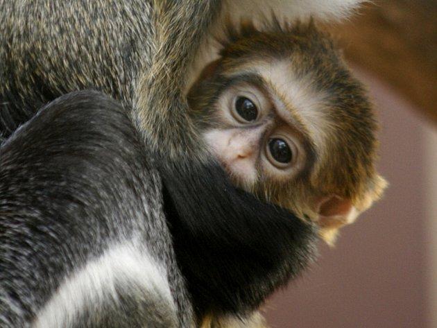 Mládě afrických primátů kočkodanů Brazzových se narodilo v ústecké zoologické zahradě.