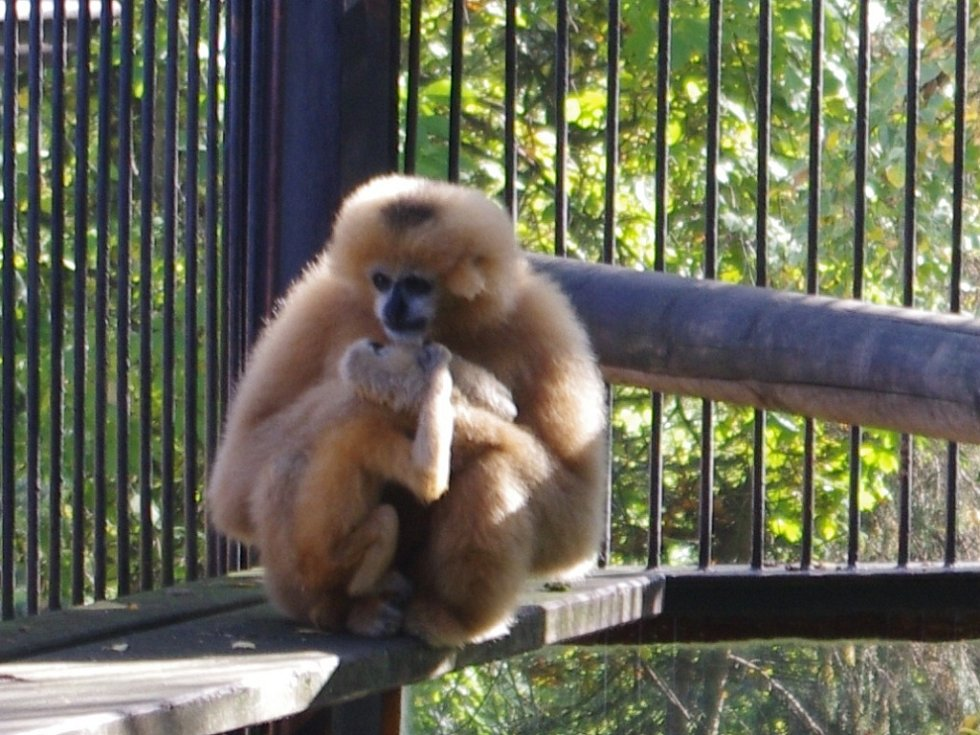 Mládě gibona bělolícího v ústecké zoologické zahradě.