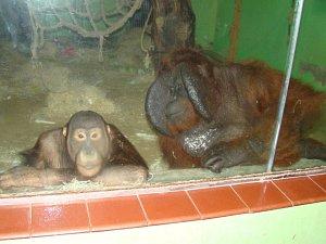Orangutani v ústecké zoo