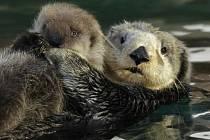 Mořské vydry, o kterých uvažuje ústecká zoo, tráví mnoho času ležením na zádech na vodní hladině.