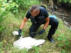 Další záchranu labutě si připsali ústečtí strážníci.
