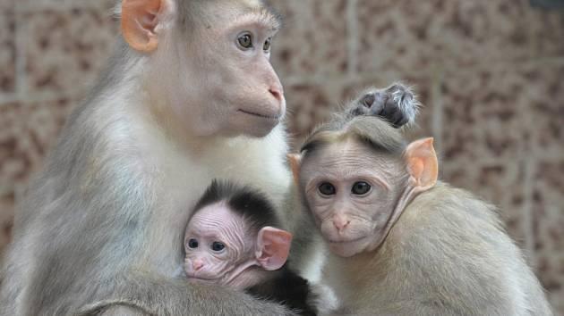 Dalším opičím přírůstkem ústecké zoo se po mláděti mandrila rýholícího stal makak kápový.