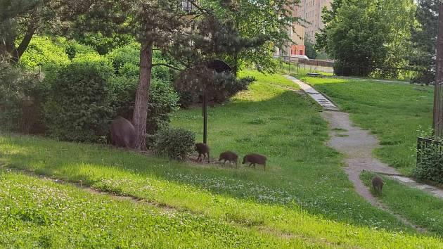 Divoká prasata na sídlišti Dobětice.