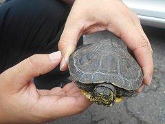 Strážníci převzali zatoulanou želvu a odvezli do útulku.