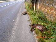 Mrtvá divoká prasata na silnici v Děčínské ulici.