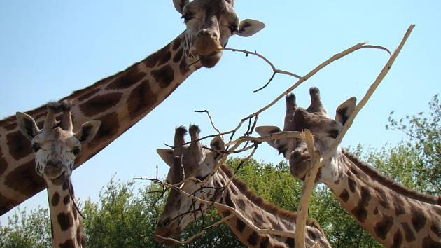 Den samiček v ústecké zoo oslaví také žirafy.