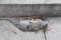 Mrtvá krysa na Lidickém náměstí před budovou magistrátu.