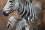 V rozmezí posledních pěti dnů se v Zoo Ústí nad Labem narodila dvě mláďata zebry Hartmannové.