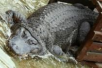 Stěhování aligátorů v ústecké zoo do letního výběhu
