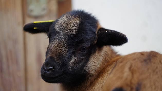 Jehně ovce kamerunské