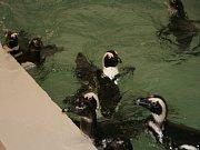 Tučňáci v Zoo v Ústí nad Labem.