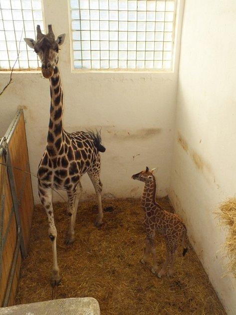 Poslední mláďata roku 2015vústecké zoo - žirafa Rotschildova.