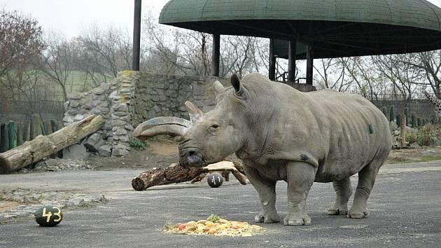 Výběh nosorožců v ústecké zoo a Zamba na archivním snímku