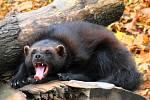 Rosomák patří mezi typická severská zvířata.