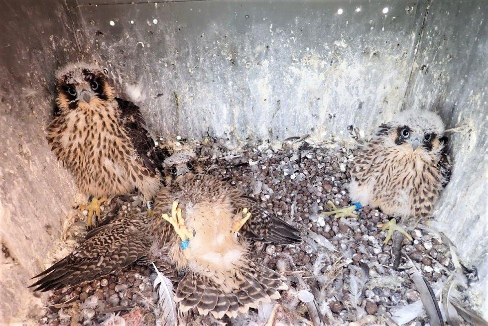 Ledvická trojčata těsně po okroužkování ornitologem Václavem Beranem.