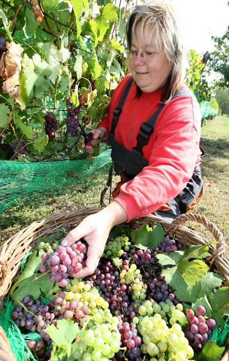 Hrozny sklizené z vinice sv. Václava ve františkánském klášteře v Kadani budou i letos ozdobou tamního vinobraní.