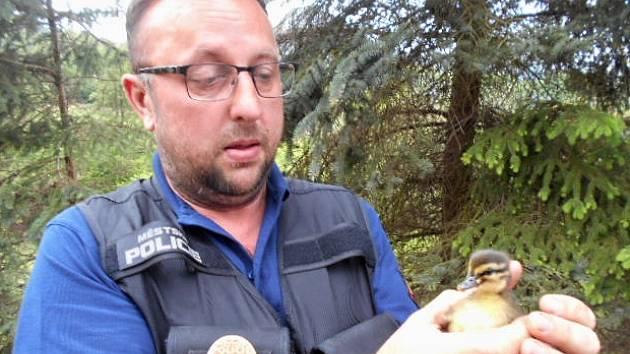 Městská policie odchytila mládě kachny divoké.