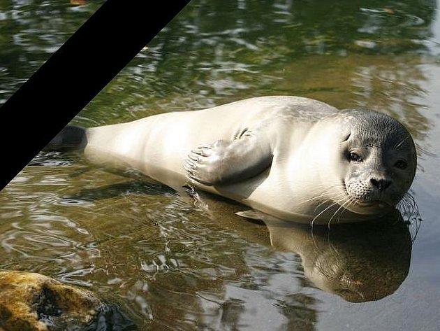Zoologická zahrada truchlí nad úmrtím malé tulení samičky Jente.