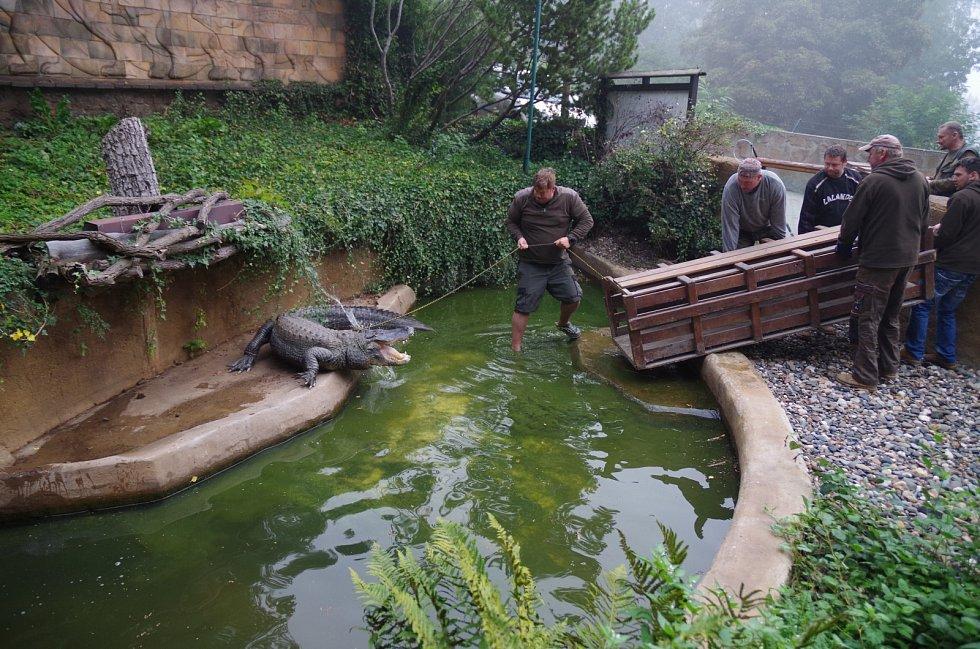 Stěhování aligátorů v ústecké zoologické zahradě