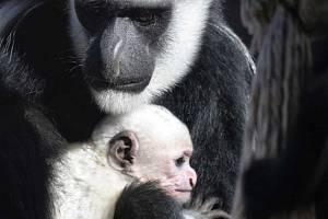 Mládě guerézy pláštíkové se narodilo v ústecké zoo.