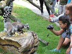 Lemuři kata v ústecké zoo.