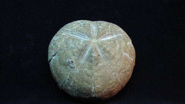 Zkameněliny mořských živočichů z druhohor, které vydala Radovesická výsypka.