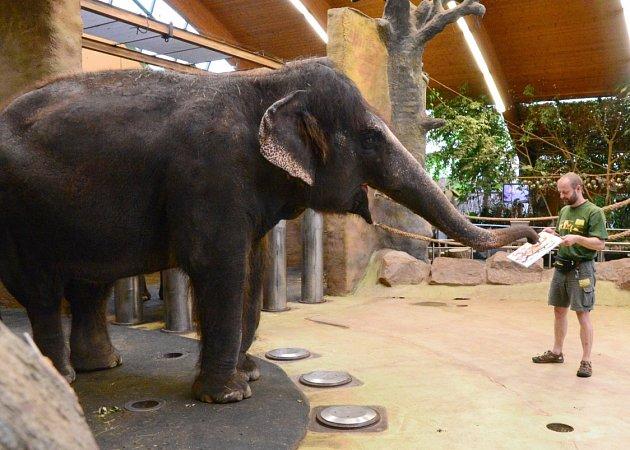 Slonice vústecké zoologické zahradě malují obrazy. Na snímku Kala schovatelem Pavlem Kökertem.