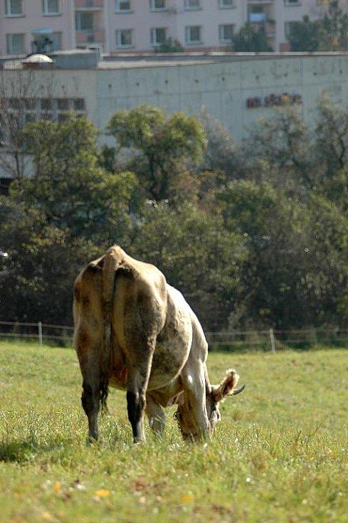 Mezi neštěmickými sídlišti Skalka a Na Výšině se pasou desítky krav, koní a koz.