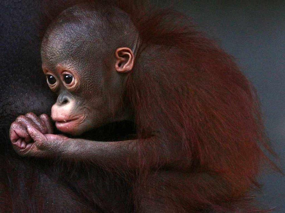 Orangutanní mládě Budi z ústecké zoologické zahrady oslaví v neděli 20. ledna první narozeniny