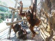 Ústečtí orangutani mají opravenou expozici.
