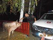 Dvě dvoumetráková domácí prasata se utábořila na dětském hřišti v Božtěšicích. Odešla až se svým majitelem.