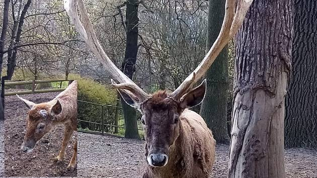 Desaterák Max shodil v ústecké zoo paroží vážící přes 7 kilogramů.