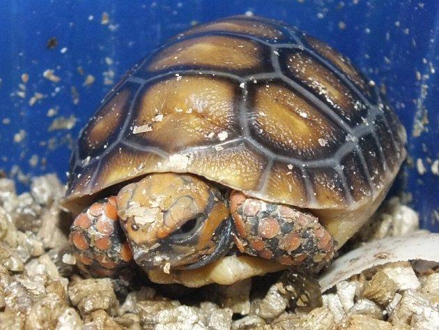 Poslední mláďata roku 2015vústecké zoo - želva uhlířská.