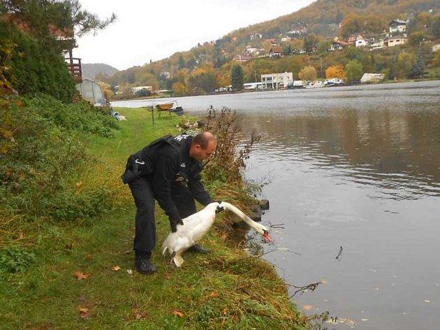 Strážníci odchytili zraněnou labuť a odvezli ji košetření.